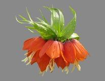 Gartenblumen-Kaiserhaselnußwaldhuhn Stockfotos