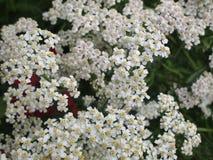 Gartenblumen mit den weißen Blumenblättern Stockfoto