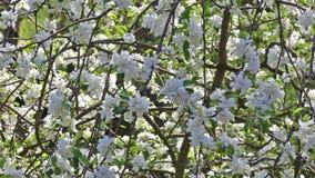 Gartenblumen-Parkfrühling des Kirschbaums blühender stock video