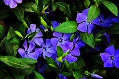 Gartenblumen sind blau Stockfotografie