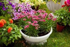 Gartenblumen von verschiedenen Farben in den Töpfen Lizenzfreie Stockbilder