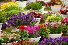 Gartenblumen von verschiedenen Farben in den Töpfen Stockbild
