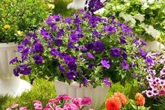 Gartenblumen von verschiedenen Farben in den Töpfen Lizenzfreies Stockfoto