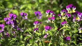 Gartenblumenbeet von Veilchen Veilchen in der Hintergrundbeleuchtung Eine unglaubliche Vielzahl von Farben und von Farben stock video