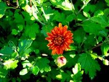Gartenchrysantheme im Schatten des Laubs am Nachmittag stockbilder