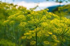 Gartendill blüht gegen den Himmel auf einer Wiese unter dem Wald lizenzfreie stockbilder