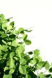 Gartenerbsen Lizenzfreies Stockfoto