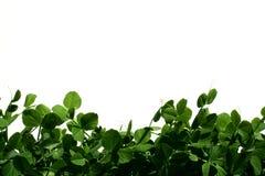 Gartenerbsen Lizenzfreies Stockbild