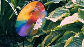 Gartenfeuerrad von Regenbogenfarben nahe gestreiften Blättern von Hostaanlagen, anderer Name Funkia stock video