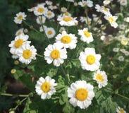 Gartengänseblümchen im Yard stockfotografie