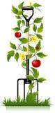 Gartengabel und -tomate Stockfoto