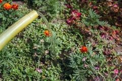 Gartengießkannewasser die Blumen auf dem Blumenbeet Arbeiten im Garten Stockbild