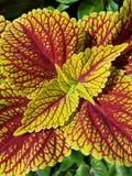 Gartengold lizenzfreie stockbilder