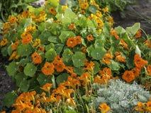Gartenkapuzinerkäse, Tropaeolum majus, blühend im Garten lizenzfreies stockbild