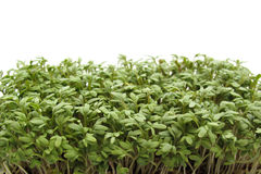 Gartenkresse Stockfoto