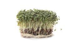 Gartenkresse (Lepidium Sativum) Stockfotografie