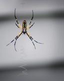 Gartenkreuzspinne spinnt ihr Netz stockfotos