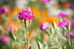 Gartennelke Stockbild
