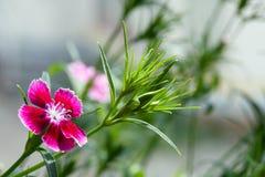 Gartennelke lizenzfreie stockfotos