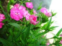 Gartennelke lizenzfreies stockfoto