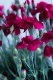 Gartennelke stockfoto