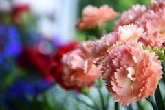 Gartennelke stockfotografie