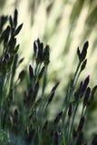 Gartennelke in den Knospen stockfotos