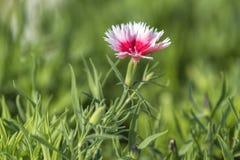 Gartennelke in der Blüte lizenzfreie stockfotografie