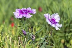 Gartennelke in der Blüte stockbild