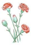 Gartennelke farbige Zeichnung vektor abbildung