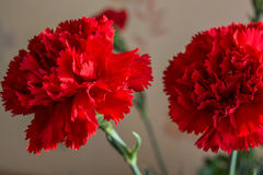 Gartennelke mit zwei Rottönen stockfotografie