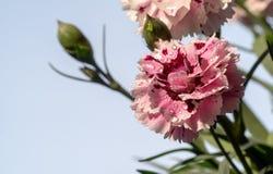 Gartennelke nach dem Frühlingsregen lizenzfreie stockfotos