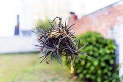 Gartennelke von Luft Tillandsia Aeranthos, gegen ein unfocused Ba stockfotos