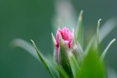 Gartennelkeblumenknospe Lizenzfreie Stockfotografie
