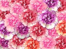 Gartennelkehintergrund Stockbilder