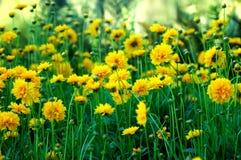 Gartennelken Lizenzfreies Stockfoto