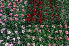 Gartennelken blüht im Verkauf stockfotos