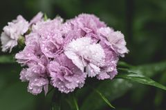 Gartennelkenblume Abschluss herauf blühendes rosa caryophyllus Dianthus Blume des Gartennelkenruhmes, Gartennelkennelkenrosa, Spe stockfotografie