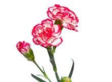 Gartennelkenblumen auf einem weißen Hintergrund. Stockbild