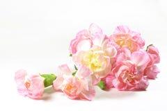 Gartennelkenblumenniederlassung Lizenzfreie Stockfotos