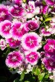 Gartennelkengarten Lizenzfreies Stockbild