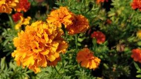 Gartennelkenorangenblume lizenzfreie stockbilder