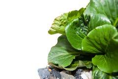 Gartenpflanze mit Grünblättern und -steinen auf Weiß Stockfotografie