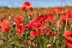 Gartenplan abgedeckt durch das Blühen von roten Mohnblumen auf Hintergrund des blauen Himmels mit weißen flaumigen Wolken Heller, lizenzfreie stockfotos