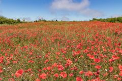Gartenplan abgedeckt durch das Blühen von roten Mohnblumen auf Hintergrund des blauen Himmels mit weißen flaumigen Wolken Heller, stockfotografie
