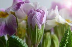 Gartenprimel Lizenzfreies Stockfoto