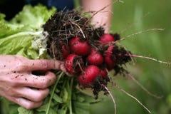 Gartenrettich lizenzfreie stockfotos
