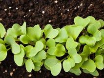 Gartenrettichsprösslinge Lizenzfreie Stockfotos