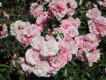 Gartenrosa- und weißerosen Stockfoto