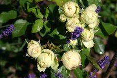 Gartenrose Regen Immagini Stock Libere da Diritti
